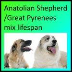 Anatolian Shepherd/Great Pyrenees mix lifespan