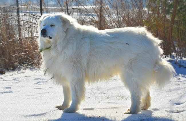 Great Pyrenees - Guard dogs for sheep and goats
