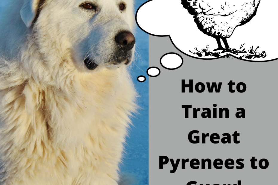 How to Train a Great Pyrenees to Guard Chickens