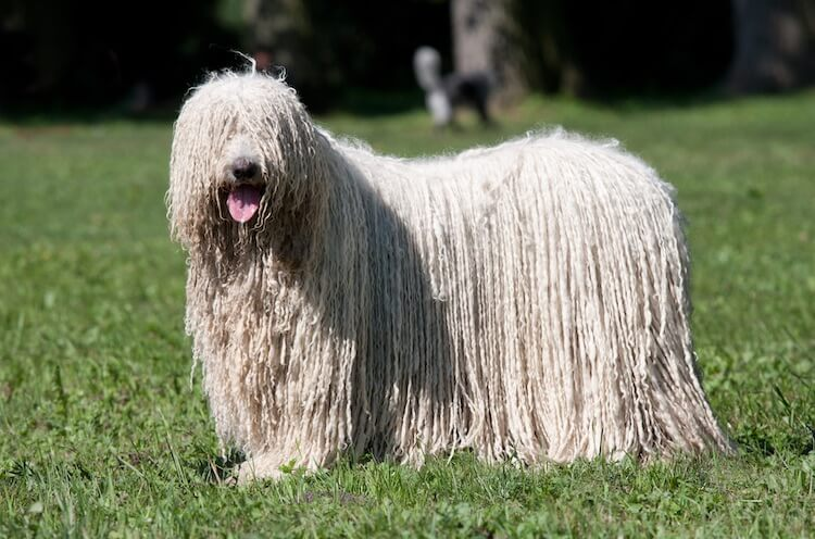 Komondor - Guard dogs for sheep and goats