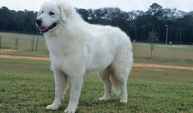 Kuvasz - Guard dogs for sheep and goats