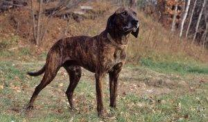 Plott Hound, What is the Best Breed of Dog for Coyote Hunting
