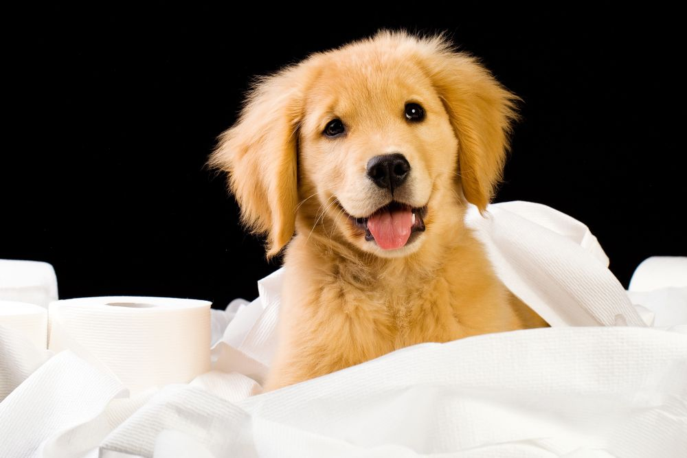 How long does it take to potty train a Golden Retriever?