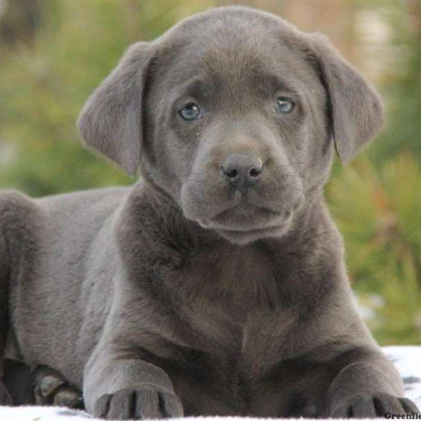 Charcoal Lab Puppies