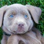 Silver Labs for sale - United States - Silver Labradors