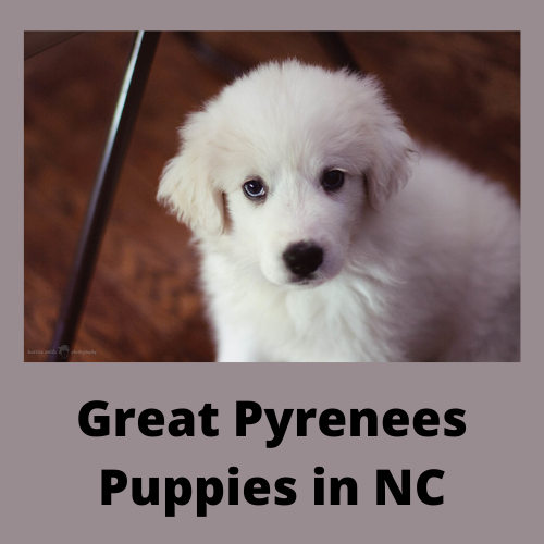 Great Pyrenees Puppies in NC