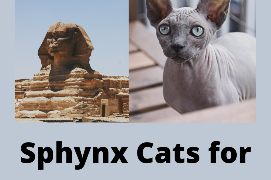 Sphynx Cats for Sale in Ohio